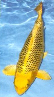 Pin platinum ogon koi on pinterest for Ogon koi fish